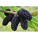 "Dwarf Everbearing Mulberry Plant - Morus nigra - Sweet Fruit - 4"" Pot"