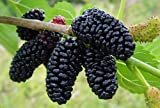 "Dwarf Everbearing Mulberry Plant - Morus nigra - Sweet Fruit - 4"" Pot"