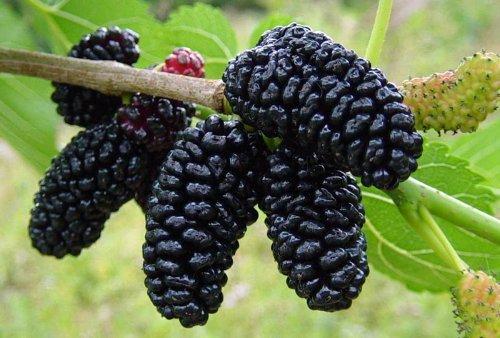 dwarf-everbearing-mulberry-plant-morus-nigra-sweet-fruit-4-pot