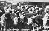 Pueblo Colorado Prize Herefords Cows Antique Postcard K39767