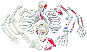 3B Scientific A05/2 Painted Muscles Disarticulated Full Human Skeleton with 3 Part Skull, 19.1