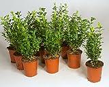 *offer* 10 Common box plants (Buxus sempervirens a.k.a. European box) 10 x 9cm pots
