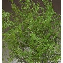 Green Floral Crafts Natural Evergreen Plumosa Fern - 12-18