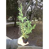 Leyland Cypress 6-10 INCHES TALL SHIPPED IN LOTS OF 10