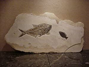 Buy Extremely Rare 17 (43.2cm) Diplomystus Dentatus and 5.125 (13cm) Priscacara Serrata Fossil Fish on... by DeepSeaFossils