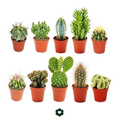 set-of-10-different-cactus-in-55-cm-pot