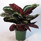 "Rose Painted Prayer Plant - Calathea - Easy - 4"" Pot"