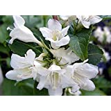 Pearl Sonic BloomTM Weigela - Everblooming - Proven Winners