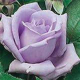 """Beautiful Hybrid Tea Rose Plant, Blue Moon, Nice 12-18"""" Tall Rose Plant"""