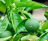 柑橘類 カボス 2年生 接ぎ木 苗 果樹苗木 果樹苗 カンキツ 苗木 常緑樹