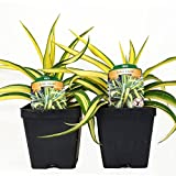 Set of 2 Yucca Color Guard Perennial Plants * Adams Needle Plant 4 Inch Container Organic - Non-GMO Easy To Grow