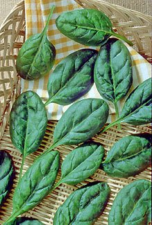 Spinach Baby Leaf Catalina Seeds