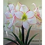 Amaryllis Picotee Huge Bulb 30-36cm! Great Holiday Gift! Easy Grow Bulbs!