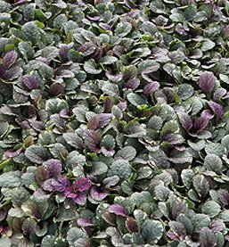 Burgundy Glow Ajuga Ground Cover