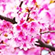 10 Cherry Blossoms Seeds