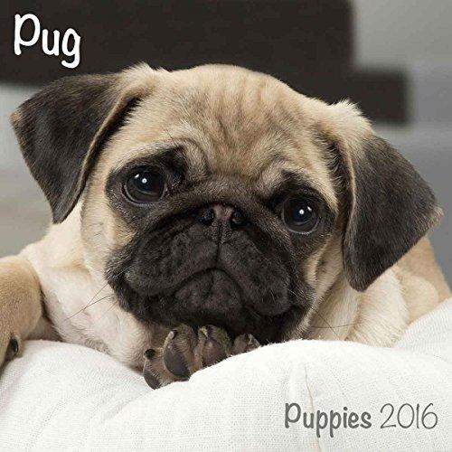 Pug Puppies M 2016 Calendar (Mini)