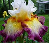 Pretty Flowering Perenials, Reblooming Iris, Bearded Iris, Deluxe Colors Mix, Root, Plant, Great Spectacular Flower Heads
