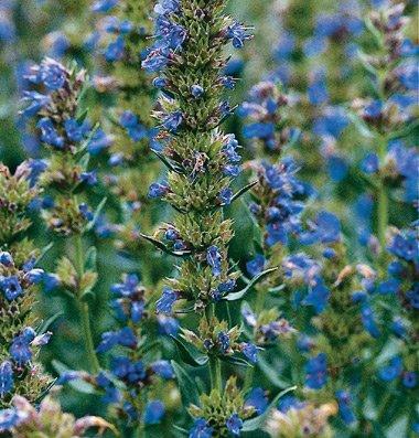 Herb Hyssop D896A (Blue Violet) 100 Organic Seeds By David'S Garden Seeds