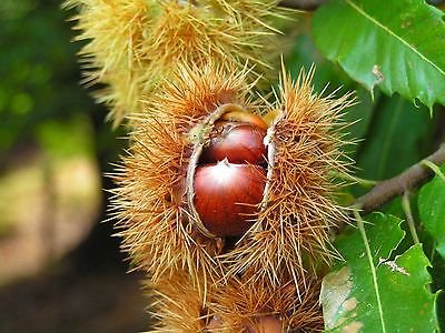 3-sweet-chestnut-tree-3-4ftcastanea-sativa-in-a-2l-pot-edible-nuts-to-roast
