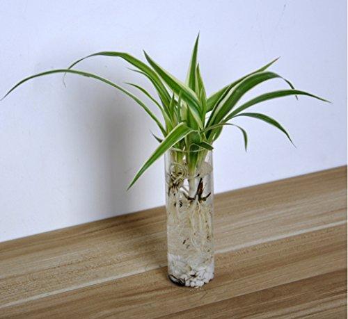 Vase cylindre mural suspendu en verre transparent pour for Plante amelys