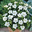 Pair of Gardenia Kleims Hardy Plants in 9cm Pots