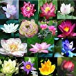 Aquatic Plants Dwarf Water Lily 15 Seeds Miniature Lotus Mixed Colors for Home & Garden