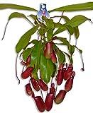Fleischfressende Pflanze Nepenthes Bloody Mary im Ampeltopf