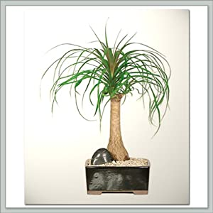 Ponytail Palm Bonsai Tree | Nursery Direct From Joebonsai