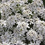 Wildflower - Wild Candytuft - 500 Seeds