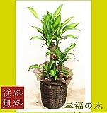 観葉植物/幸福の木 7号  鉢カバー・受皿付き