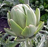 Green Globe Artichoke - 4 Plants - Artichokes this Year