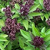 Indian Gardening Siam Queen Thai Basil Ocimum Thyrsiflora Herb Seeds 25 Seeds