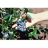 2 Blueray Blueberry Plant-- up to 20 Lbs Per Mature Plant! Nice Quart Pot Starter Plants.