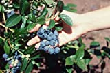 2 Blueray Blueberry Plant-- up to 20 Lbs Per Mature Plant! Nice 4 inch Pot Starter Plants.