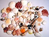 "Sea Shells Mixed Beach Seashells - Various Sizes up to 2"" Shells -BIG BAG of 50+ Seashells!"