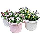 数量限定【紙の鉢・エコポット】つのたんビオラ鉢(5号鉢) 【4個セット】 花つきの良いビオラ お持ちの鉢に簡単に植え変えも可能!