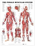 The Female Muscular System [Laminated] Anatomical Chart Company