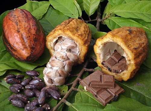 Chocolate Tree - Theobroma cacao - 6