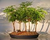 Bonsai Boy's Redwood Bonsai Tree - 5 Tree Forest Group metasequoia glyptostroboides