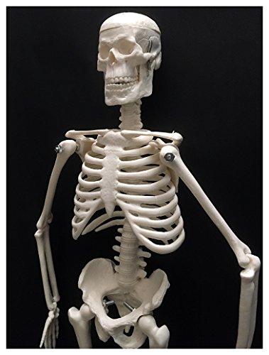 45㎝ 人体 骨格 模型 リアル 縮尺 1/4 スタンド 付き 学習 教材 インテリア