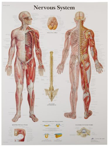 3B Scientific VR1620UU Glossy Paper Nervous System Anatomical Chart, Poster Size 20