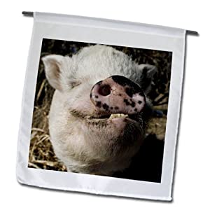 fl_92681_1 Danita Delimont - Farm Animals - Pet pot bellied pig, Farm animal, New Mexico - US32 JMR0497 - Julien McRoberts - Flags - 12 x 18 inch Garden Flag