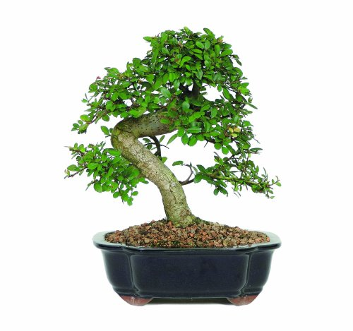 Brussel s Chinese Elm BonsaiB0000DGG22