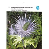 Mannstreu, Alpendistel, Eryngium alpinum, Superbum, ca. 100 Samen