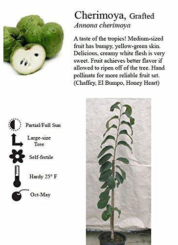cherimoya-tree-shipped-in-soil-five-gallon-container