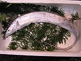太刀魚(山口県周防大島産 )1kgもしくは長崎のブランド五島太刀
