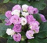 (11月初旬以降お届け予約品) 楽天1位 ☆バラ咲きプリムラ ジュリアン・ブルーベリーのムース  1株