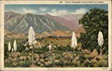 Yucca in Bloom in Southern California Cactus & Desert Plants Original Vintage Postcard