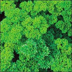Triple Curled Parsley Herb 500 Seeds-GARDEN FRESH PACK