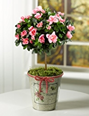 Azalea Standard in Zinc Pot